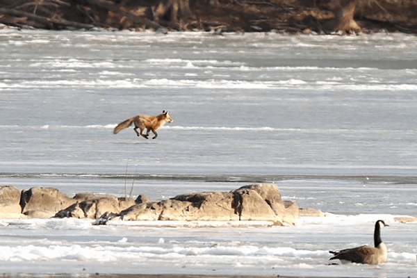 A fox running across ice in winter